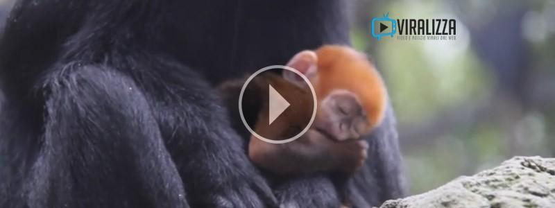 scimmietta arancione